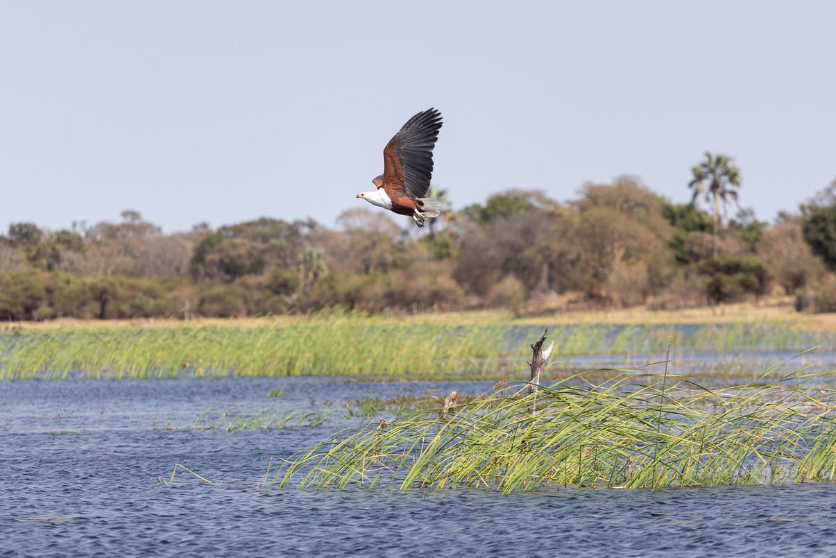 Fish Eagle - Afrika 2018