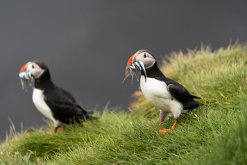 Iceland - Puffins catching fish in Iceland
