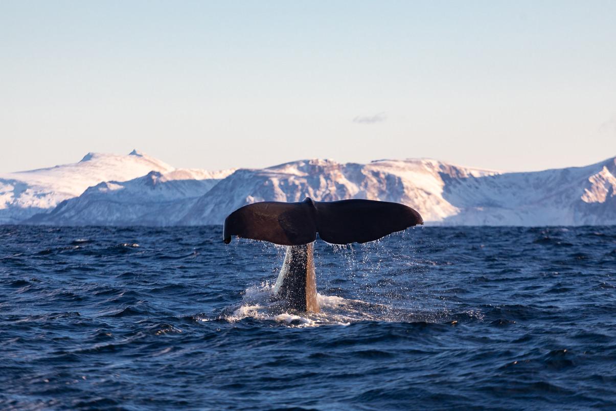 Sperm Whale - Norway.jpg