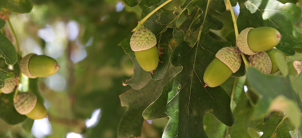 acorn-3632517_1920.jpg