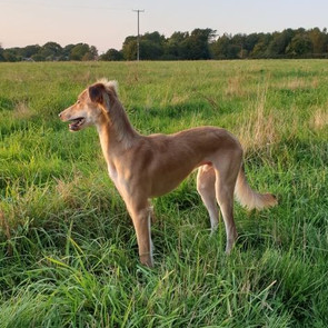CHASE - URGENT FOSTER NEEDED