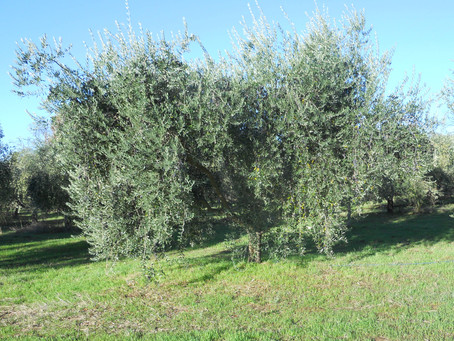 California olive harvest 2017 – part I