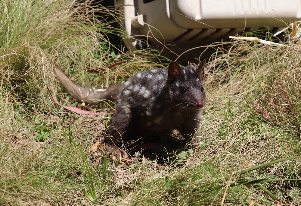 Eastern Quoll Being Released Into the Sanctuary