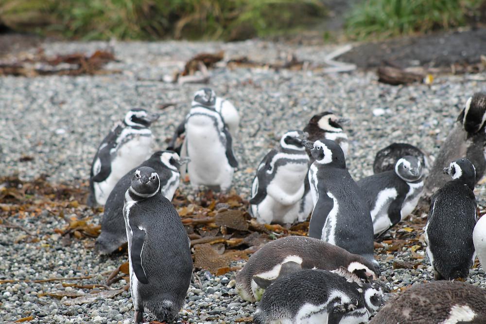 Magellanic Penguins in Patagonia