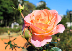 South American Rose