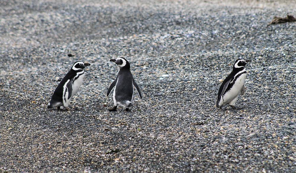 Magellanic Penguins Patagonia