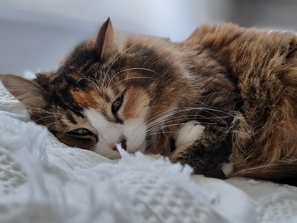 Cat (Bella) in Bed
