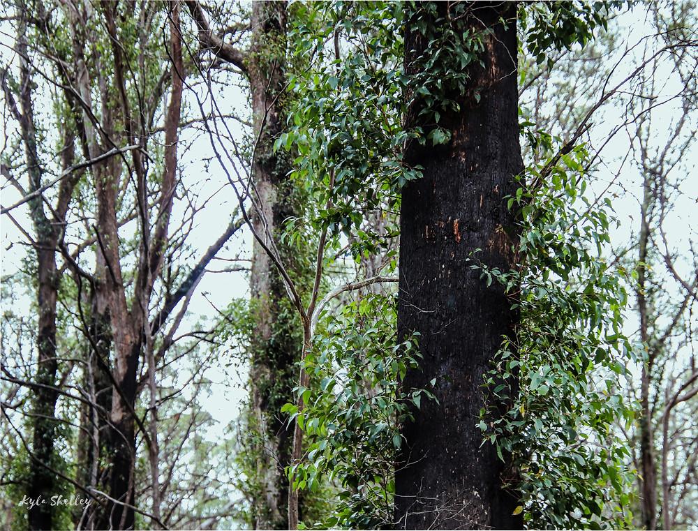 Burnt Tree Regrowth
