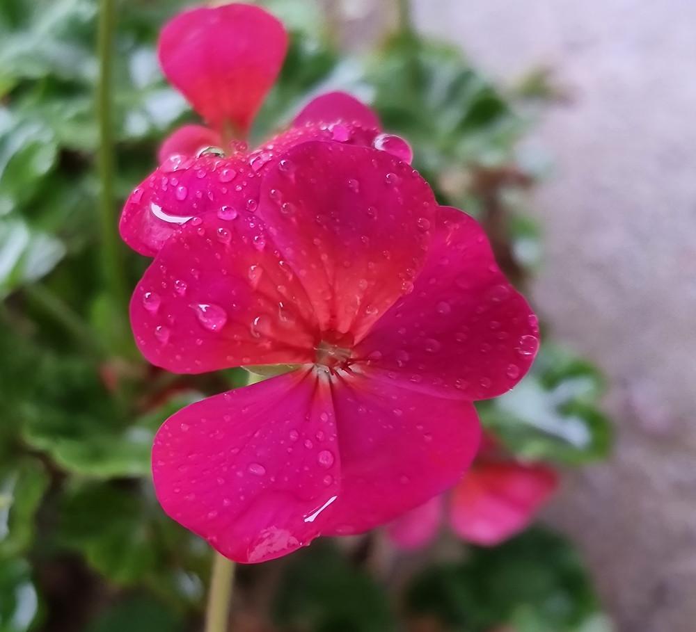 Geranium covered in drops of rain