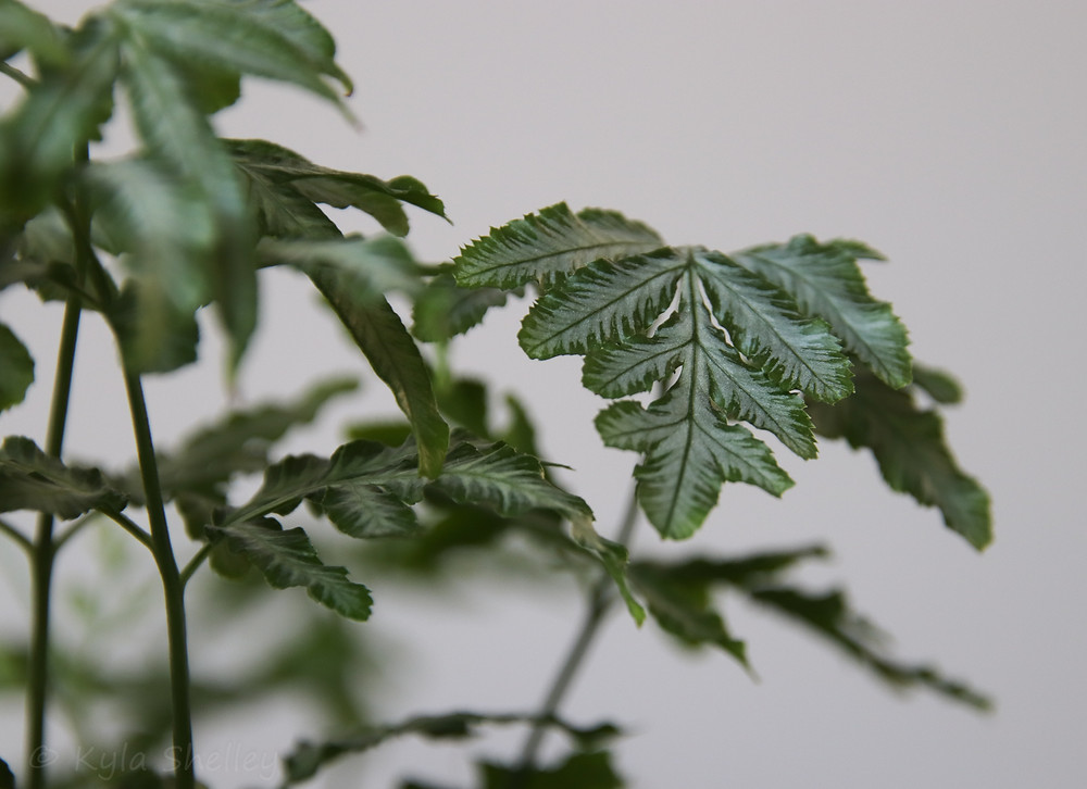 Delicate leaves
