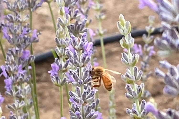 Our Bees on Lavender