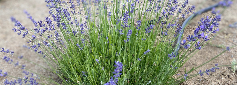 English lavender begins to bloom first