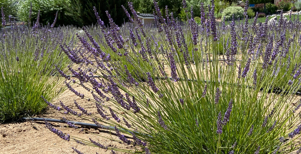 The Sierras and Lavender