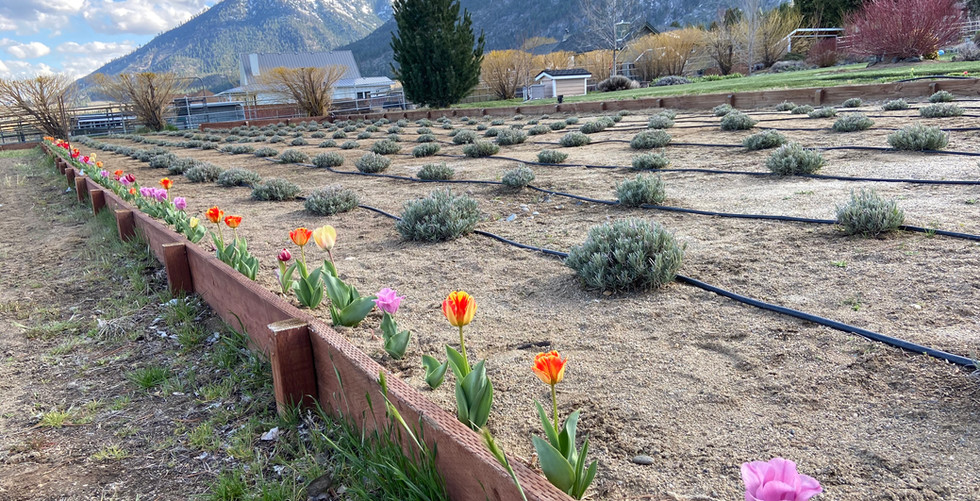 The early tulips bring hint of color to come!
