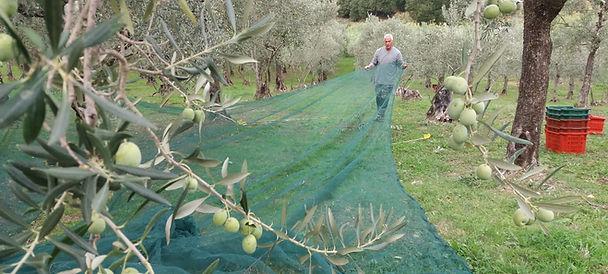 Olijven plukken in Poggiolo, Umbrië