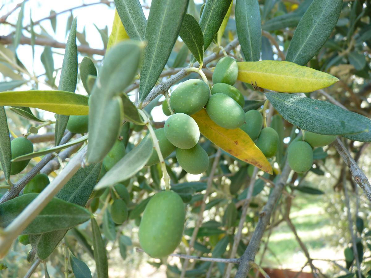 Ascolana olijf