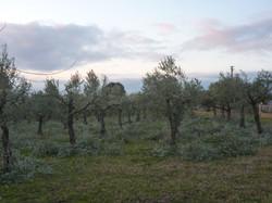 olijfgaard 2014