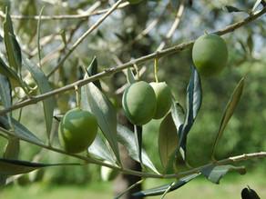 Hoe maak je olijven eetbaar?
