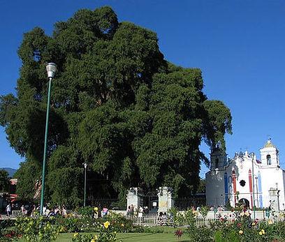 tule-tree.jpg