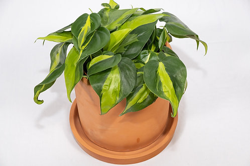 Brasil Philodendron