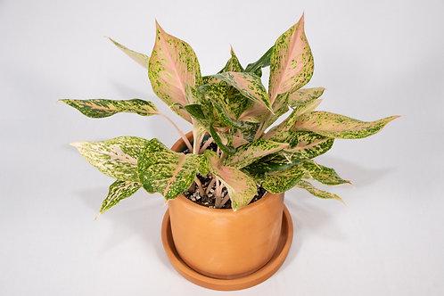 Sparkling Sarah Chinese Evergreen (Aglaonema 'Sparkling Sarah')