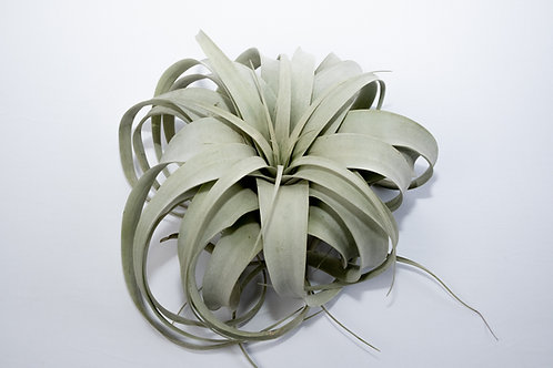 Xerographica Airplant (Xerographica Tillandsia)