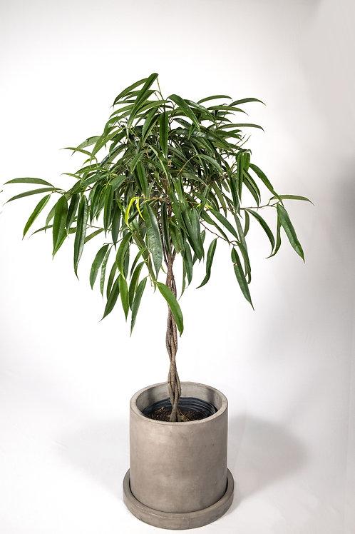Banana Leaf Fig (Ficus Alii)