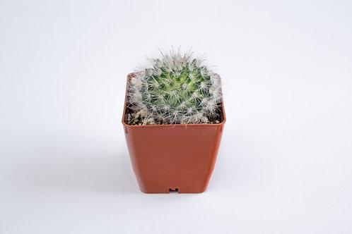 Mammillaria Boolli Cactus
