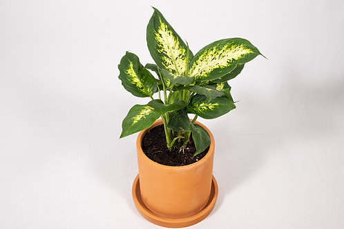 Tropic Snow Dumb Cane (Dieffenbachia 'Tropic Snow')
