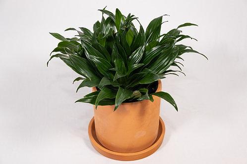 Janet Craig Dragon Plant (Dracaena Compacta 'Janet Craig')