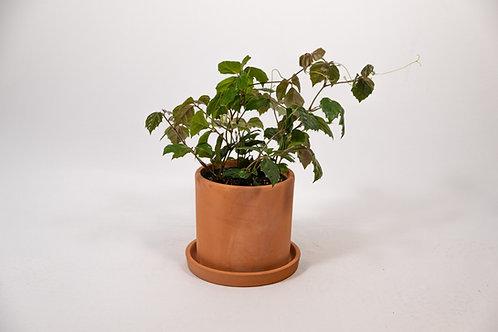 Grape Ivy (Cissus Rhombifolia)