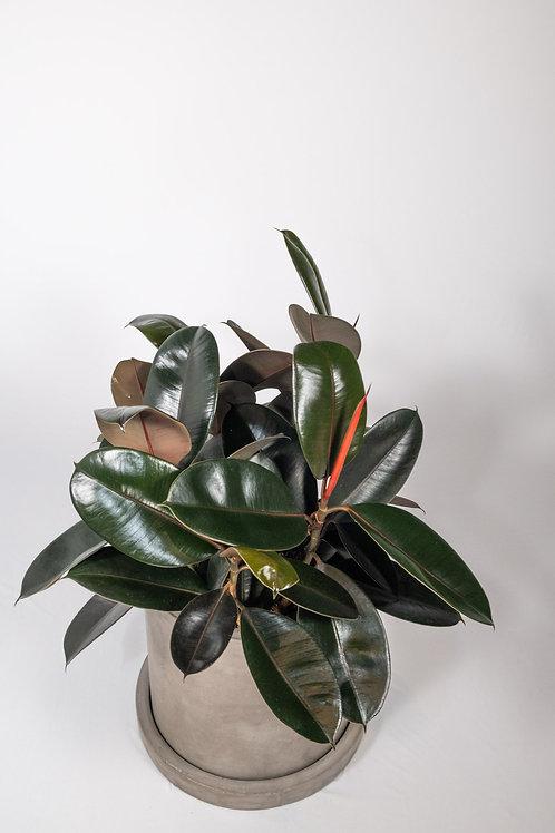 Burgundy Rubber Plant (Ficus Elastica 'Burgundy')