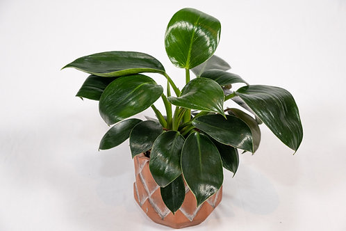 Birkin Philodendron