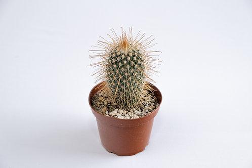 South American Pincushion Cactus