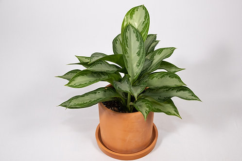 Silver Bay Chinese Evergreen (Aglaonema 'Silver Bay')