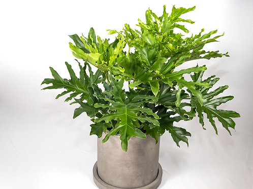 Tree Philo or Hope Philo (Philodendron Selloum)