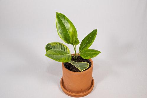Altissima Rubber Plant (Ficus Elastica 'Altissima')