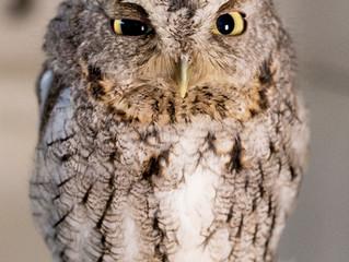EEEEEEE a Screeeeech Owl