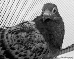 Recuperating Pigeon