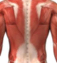 muscoli1-726x321.jpg