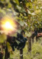 Picking%20Purple%20Grapes_edited.jpg