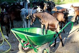 le bien- êytre animal des chèvres de la ferme du Crabé.