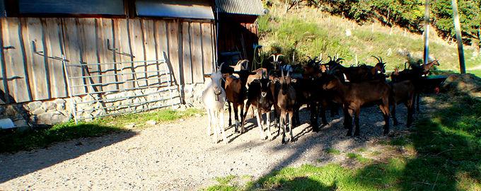 troupeau de chèvres de la ferme du Crabé, Orgeix, Pyrénées, ariège.