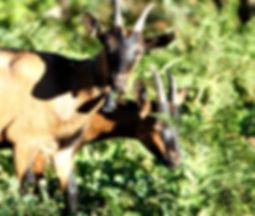 chèvre alpine de la ferme du Crabé, à Orgeix, dans les vallées d'Ax.