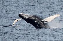 Whales Elliston Newfoundland