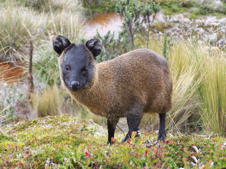 10 raros animales de la sierra peruana que tal vez no conocías!