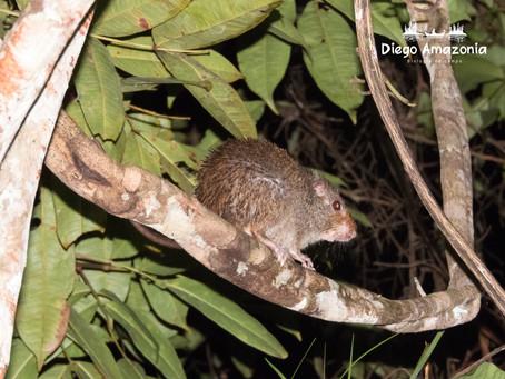 Monitoreo de mamíferos menores con cámaras trampa - ¿Se pueden identificar especies?