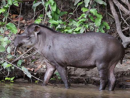 Día Mundial del Tapir - Sachavacas del Perú