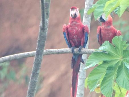 Aves del Perú: Amazonía – Birds of Perú: Amazonia