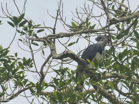 A 10 metros de un águila harpía y no le pude tomar una buena foto
